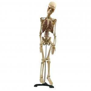 PDL-003 (skelet ljudski)